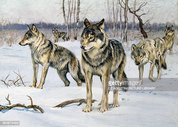 Gray Wolf Canidae drawing