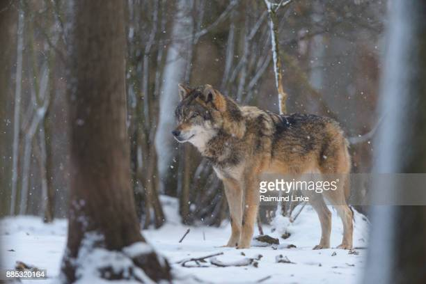 gray wolf, canis lupus lupus, at snowfall in winter - einzelnes tier stock-fotos und bilder