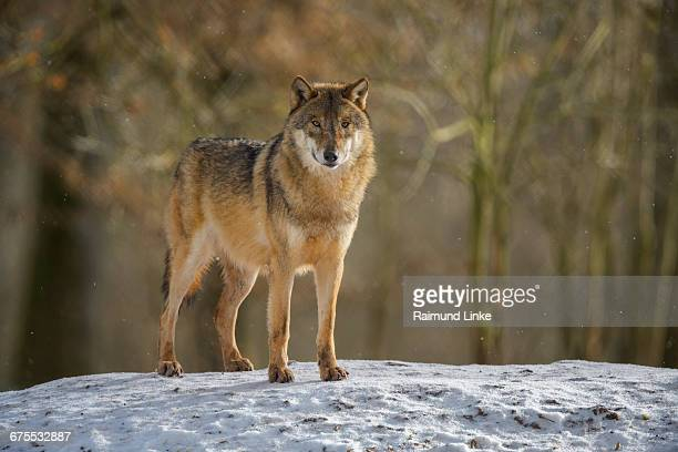gray wolf, canis lupus lupus, in winter - one animal stock pictures, royalty-free photos & images