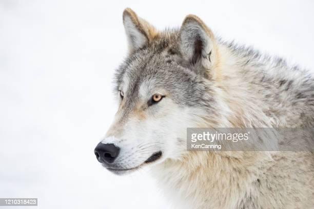 primo piano lupo grigio nella neve invernale - fauna selvatica foto e immagini stock