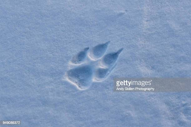 gray wolf footprint in the hudson bay - lobo fotografías e imágenes de stock