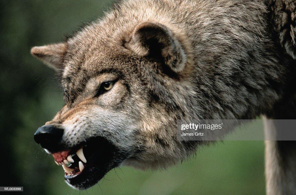 Gray Wolf Growling Stock Photo