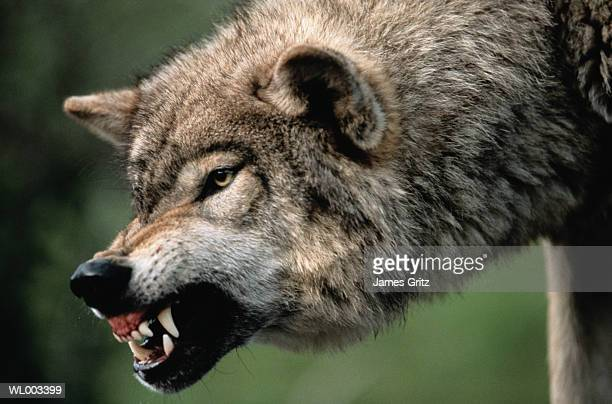 Gray Wolf Growling