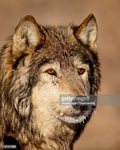 Gray wolf (Canis lupus) in captivity, near Bozeman, Montana, United States of America, North America