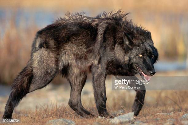 gray wolf in northern rocky mountains - black wolf stock pictures, royalty-free photos & images