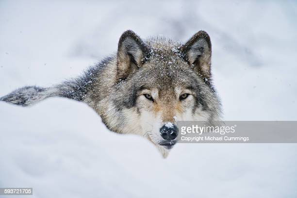 gray wolf in snow - loup blanc photos et images de collection