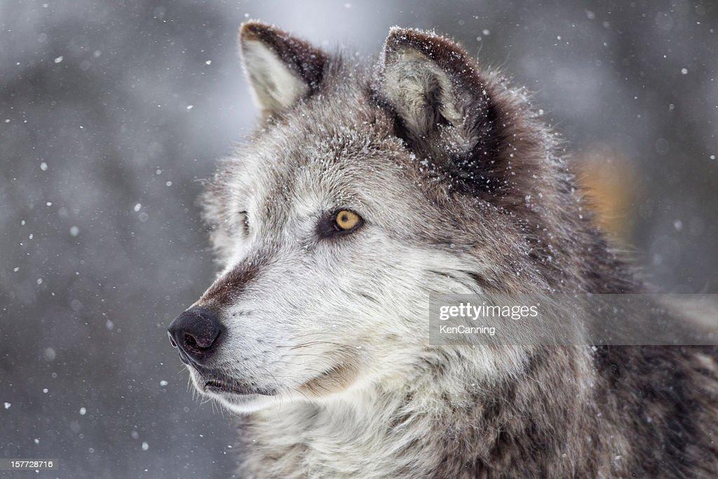 ハイイロオオカミ冬の : ストックフォト