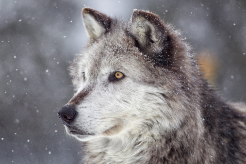 Gray Wolf  in Winter 157728716