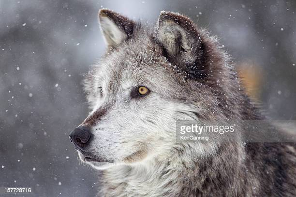 Gray Wolf im Winter