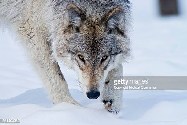gray wolf in winter - michael wolf stock photos and pictures