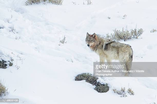 gray wolf in winter snow, looking back, turned head - minnesota stock pictures, royalty-free photos & images