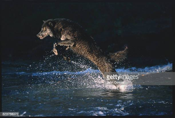 Gray Wolf Leaping from the Water