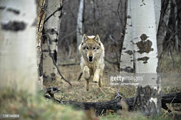 Gray Wolf leaping over log in controlled habitat, Montana, USA