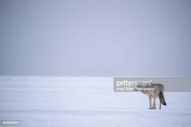 gray wolf looks across the frozen hudson bay - tundra stock-fotos und bilder