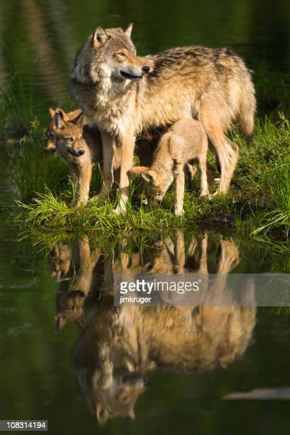 Gray wolf mother and pups standing lakeside.