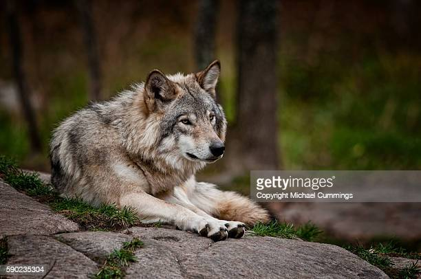 gray wolf on rock - michael wolf stock photos and pictures