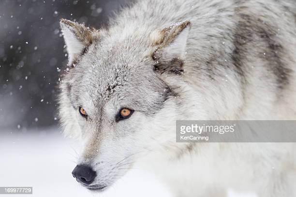 60 meilleures loup gris photos et images getty images - Photo de loup gris a imprimer ...