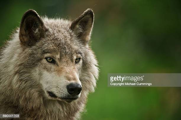 gray wolf - michael wolf stock photos and pictures