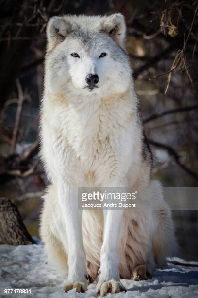 gray wolf - arctic wolf stock photos and pictures