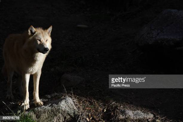 A gray wolf pictured during his first day in his enclosure at Madrid zoo The gray wolf or grey wolf also known as the timber wolf or western wolf is...