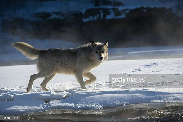 Gray wolf prowling the rivers edge.
