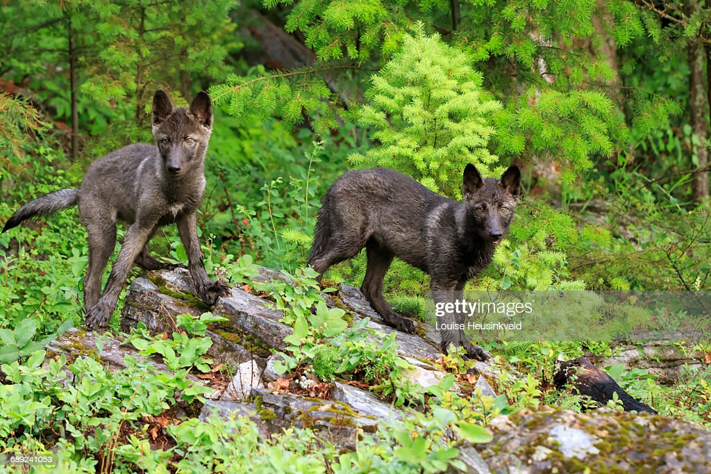 Gray wolf puppies : Stock Photo