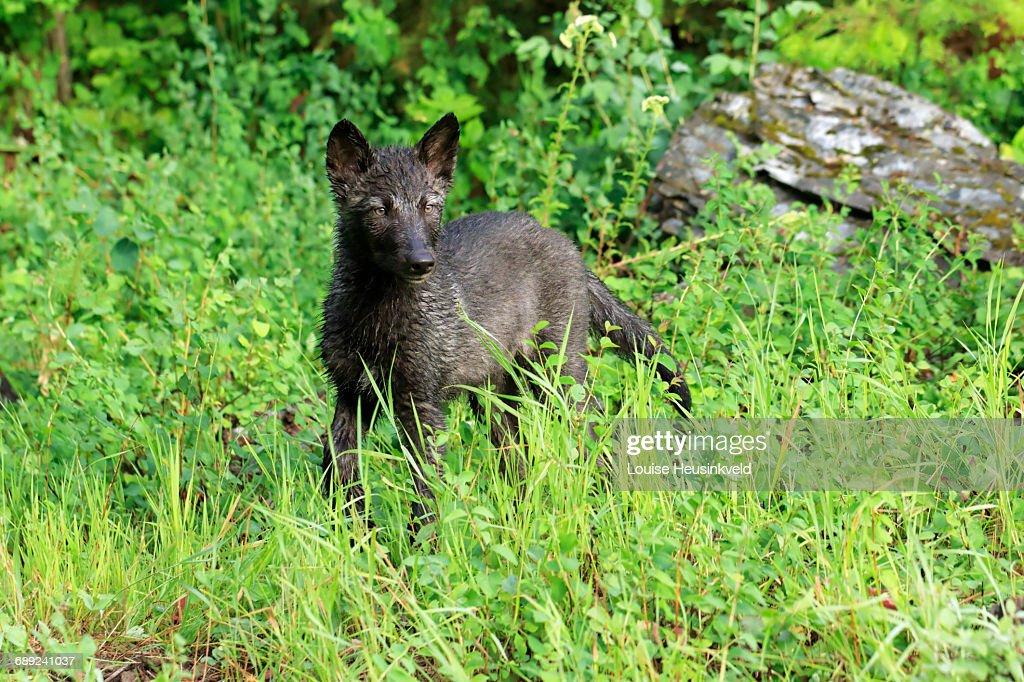 Gray wolf puppy : Stock Photo