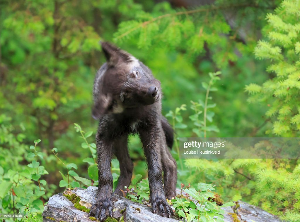 Gray wolf puppy shaking its head : Stock Photo