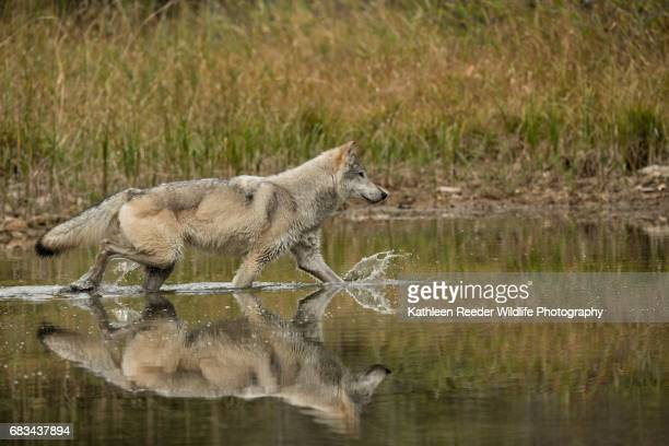 Gray Wolf Reflection in Autumn