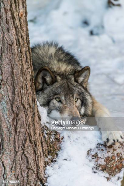 gray wolf resting in the snow - michael wolf stock photos and pictures