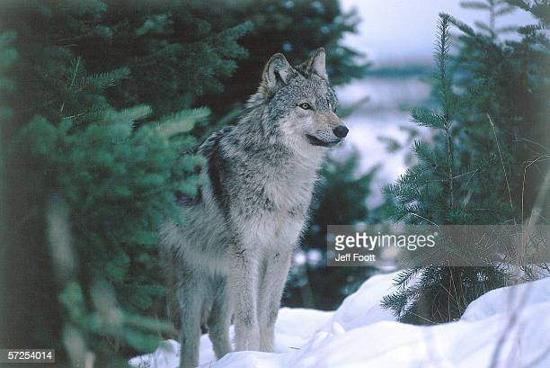Gray wolf stands in snow near pine trees. Canis lupus. Montana, North America.
