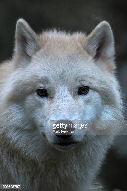 Gray Wolf, White Phase, Canis lupus