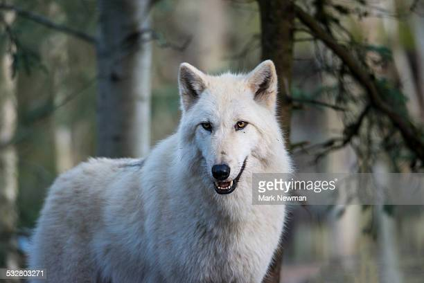 gray wolf, white phase - loup blanc photos et images de collection