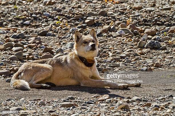 Gray wolf (Canis lupus) with radio collar resting on gravel bar, Toklat River, Denali National Park and Preserve, Interior Alaska, USA.