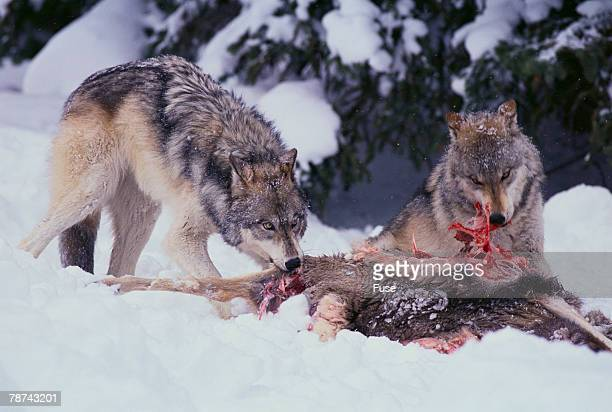gray wolves feeding on deer carcass - dead deer stock photos and pictures