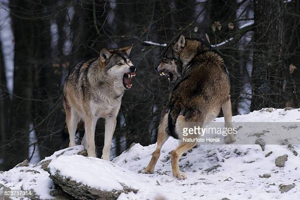1 460 Wolf Fighting Photos And Premium High Res Pictures Getty Images