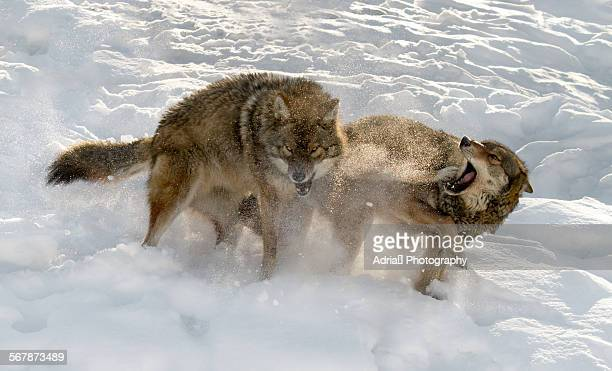 Gray Wolves fighting