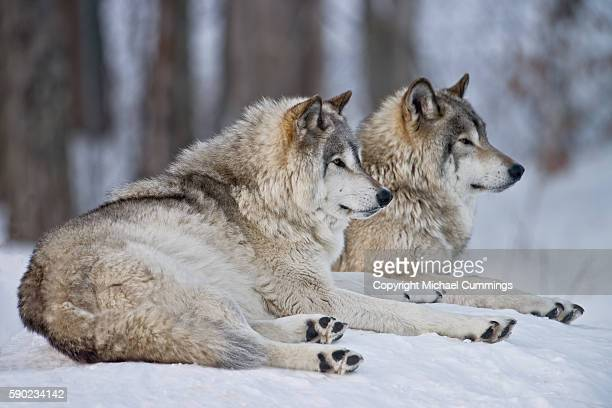 gray wolves in winter - michael wolf stock photos and pictures