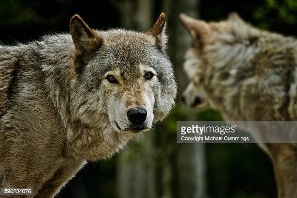 gray wolves - michael wolf stock photos and pictures