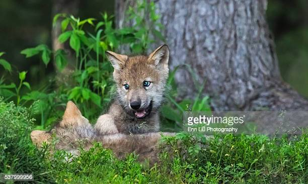 Gray wolves pups (Canis lupus)