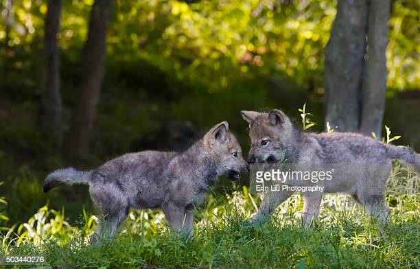 Gray wolves pups (Canis lupus)  playing