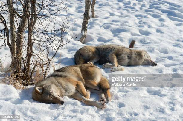Gray wolves sleeping on the snow at a wildlife park in northern Norway.