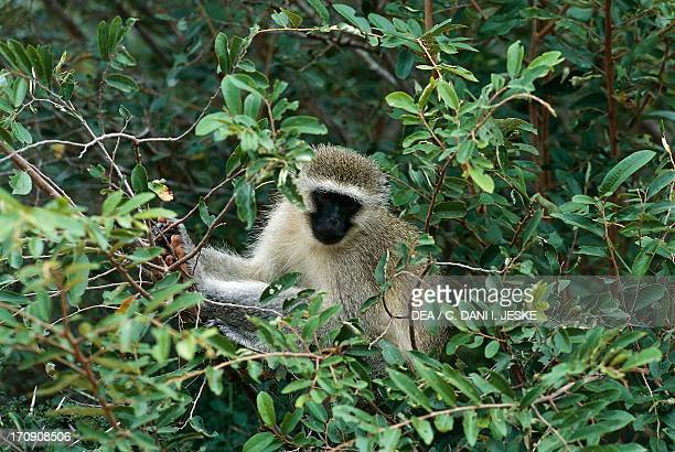 Graygreen Monkey Kruger National Park South Africa