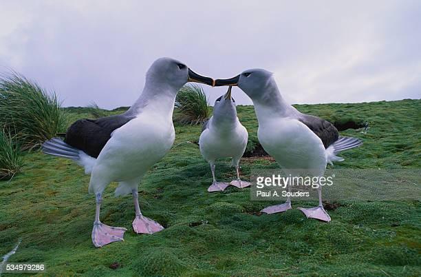 gray-headed albatross touching beaks - albatros stock-fotos und bilder