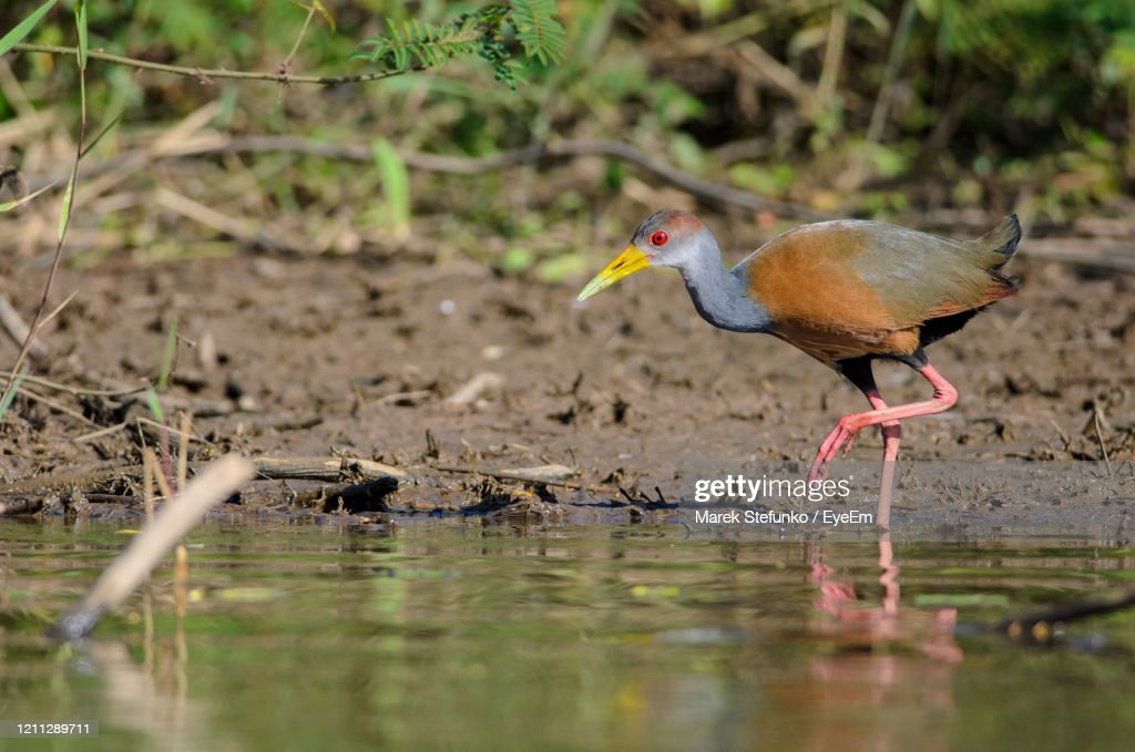 Gray-Necked Wood Rail - Aramides Cajanea In Cano Negro : Stock Photo
