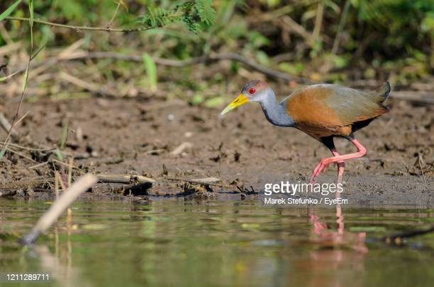 gray-necked wood rail - aramides cajanea in cano negro - marek stefunko stock pictures, royalty-free photos & images