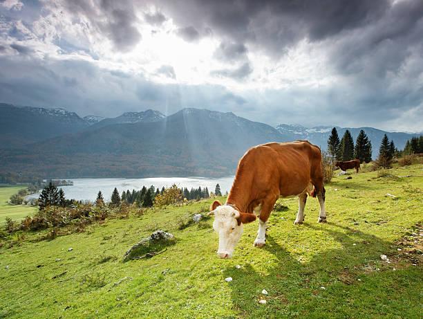 Grazing alpine cow