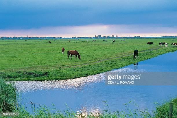 Grazing animals between Volendam and Marken Waterland The Netherlands