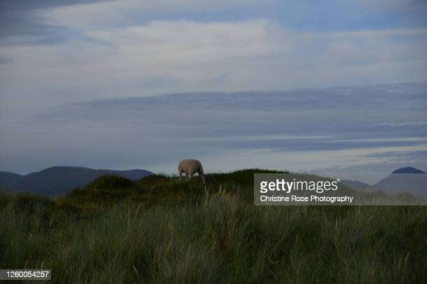 grazing at dusk - sheep stock pictures, royalty-free photos & images