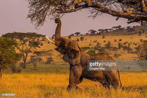grazing at sunset - desert elephant stock pictures, royalty-free photos & images